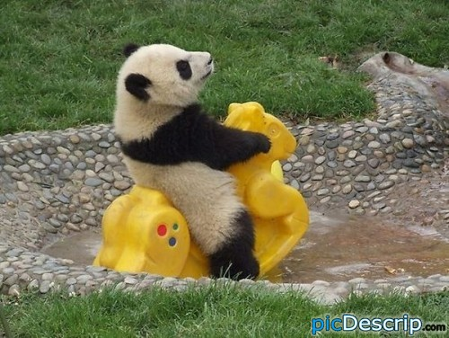 picDescrip.com - Nature - silly panda, toys are for people