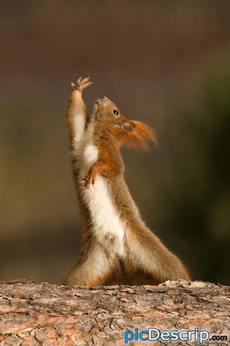 picDescrip.com - Animals - Epic red squirrel