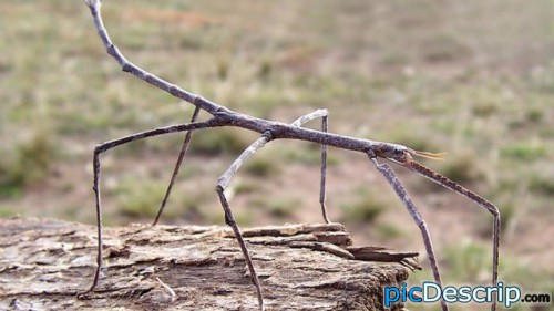 picDescrip.com - WTF?! - At twenty-two inches, Chan's megastick is the longest insect in the world.