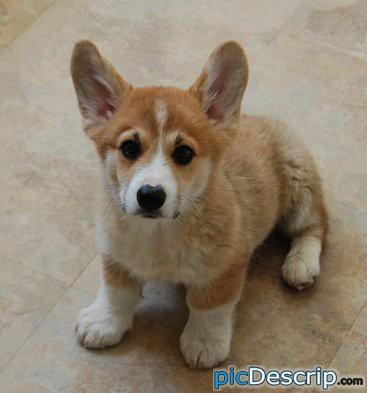 picDescrip.com - Animals - Cutest puppy in the world? Yup!